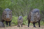 650520327 wild javelinas or collared peccaries dicolytes tajacu forage near a waterhole on santa clara ranch in starr county rio grande valley texas united states. extensive coverage of a wide range of mammal and other wildlife species, all identified by latin name.