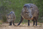 650520328 wild javelinas or collared peccaries dicolytes tajacu forage near a waterhole on santa clara ranch in starr county rio grande valley texas united states. extensive coverage of a wide range of mammal and other wildlife species, all identified by latin name.
