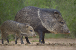 650520329 wild javelinas or collared peccaries dicolytes tajacu forage near a waterhole on santa clara ranch in starr county rio grande valley texas united states. extensive coverage of a wide range of mammal and other wildlife species, all identified by latin name.
