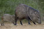 650520330 wild javelinas or collared peccaries dicolytes tajacu forage near a waterhole on santa clara ranch in starr county rio grande valley texas united states. extensive coverage of a wide range of mammal and other wildlife species, all identified by latin name.