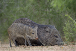 650520331 wild javelinas or collared peccaries dicolytes tajacu forage near a waterhole on santa clara ranch in starr county rio grande valley texas united states. extensive coverage of a wide range of mammal and other wildlife species, all identified by latin name.