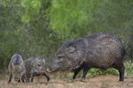 650520334 wild javelinas or collared peccaries dicolytes tajacu forage near a waterhole on santa clara ranch in starr county rio grande valley texas united states. extensive coverage of a wide range of mammal and other wildlife species, all identified by latin name.