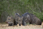 650520336 wild javelinas or collared peccaries dicolytes tajacu forage near a waterhole on santa clara ranch in starr county rio grande valley texas united states. extensive coverage of a wide range of mammal and other wildlife species, all identified by latin name.
