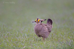 572110242 a wild lesser prairie chicken tympanuchus pallidicintus displays and struts on a lek on a remote ranch near canadian in the texas panhandle. extensive coverage of a wide range of avian and other wildlife species, all identified by latin name.