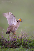 572110244 a wild lesser prairie chicken tympanuchus pallidicintus displays and struts on a lek on a remote ranch near canadian in the texas panhandle. extensive coverage of a wide range of avian and other wildlife species, all identified by latin name.