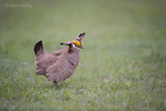 572110247 a wild lesser prairie chicken tympanuchus pallidicintus displays and struts on a lek on a remote ranch near canadian in the texas panhandle. extensive coverage of a wide range of avian and other wildlife species, all identified by latin name.