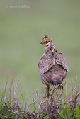 572110248 a wild lesser prairie chicken tympanuchus pallidicintus displays and struts on a lek on a remote ranch near canadian in the texas panhandle. extensive coverage of a wide range of avian and other wildlife species, all identified by latin name.