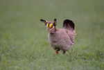 572110252 a wild lesser prairie chicken tympanuchus pallidicintus displays and struts on a lek on a remote ranch near canadian in the texas panhandle. extensive coverage of a wide range of avian and other wildlife species, all identified by latin name.