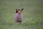 572110253 a wild lesser prairie chicken tympanuchus pallidicintus displays and struts on a lek on a remote ranch near canadian in the texas panhandle. extensive coverage of a wide range of avian and other wildlife species, all identified by latin name.