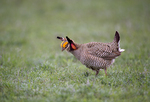 572110263 a wild lesser prairie chicken tympanuchus pallidicintus displays and struts on a lek on a remote ranch near canadian in the texas panhandle. extensive coverage of a wide range of avian and other wildlife species, all identified by latin name.