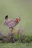 572110264 a wild lesser prairie chicken tympanuchus pallidicintus displays and struts on a lek on a remote ranch near canadian in the texas panhandle. extensive coverage of a wide range of avian and other wildlife species, all identified by latin name.