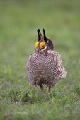 572110268 a wild lesser prairie chicken tympanuchus pallidicintus displays and struts on a lek on a remote ranch near canadian in the texas panhandle. extensive coverage of a wide range of avian and other wildlife species, all identified by latin name.