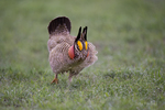 572110269 a wild lesser prairie chicken tympanuchus pallidicintus displays and struts on a lek on a remote ranch near canadian in the texas panhandle. extensive coverage of a wide range of avian and other wildlife species, all identified by latin name.