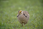 572110271 a wild lesser prairie chicken tympanuchus pallidicintus displays and struts on a lek on a remote ranch near canadian in the texas panhandle. extensive coverage of a wide range of avian and other wildlife species, all identified by latin name.