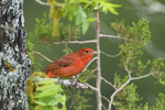 580980006 Summer Tanager Piranga rubra WILD; Male on Dead Tree Snag; Texas Hill Country, Texas. Extensive coverage of a wide range of avian and other wildlife species, all identified by Latin name.