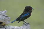 512448002 Bronzed Cowbird Molothrus aeneus WILD; Male Perched on Stump; Rio Grande Valley, Texas. Extensive coverage of a wide range of avian and other wildlife species, all identified by Latin name.