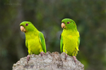 566700042 Green Parakeets Aratinga holochlora WILD; Pair on Tree Stump; Tamaulipas State, Mexico. Extensive coverage of a wide range of avian and other wildlife species, all identified by Latin name.