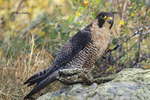 527950022 Peregrine Falcon Falco peregrinus CAPTIVE; Perched on lichen covered ledge; ENDANGERED; Colorado; Falconer's bird. Extensive coverage of a wide range of avian and other wildlife species, all identified by Latin name.