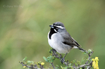 578670005 Black-throated Sparrow Amphispiza bilineata WILD; Perched on bush; Rio Grande Valley, Texas. Extensive coverage of a wide range of avian and other wildlife species, all identified by Latin name.