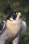 527952508 Peregrine Falcon Falco peregrinus CAPTIVE; Portrait ENDANGERED; California  Falconer's Bird. Extensive coverage of a wide range of avian and other wildlife species, all identified by Latin name.