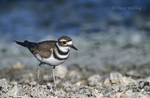 554553003 Killdeer Charadrius vociferous WILD; Adult walking along rocky shoreline; Salton Sea National Wildlife Refuge, California. Extensive coverage of a wide range of avian and other wildlife species, all identified by Latin name.