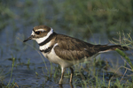 554558022 Killdeer Charadrius vociferous WILD; Adult standing in pond; Rio Grande Valley, Texas. Extensive coverage of a wide range of avian and other wildlife species, all identified by Latin name.