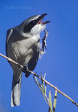 578576020 Loggerhead Shrike Lanius ludovicianus WILD; Perched on small branch scratching; Bosque del Apache National Wildlife Refuge, New Mexico. Extensive coverage of a wide range of avian and other wildlife species, all identified by Latin name.