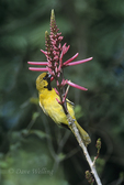 561880014 Hooded Oriole Icterus cucullatus WILD; Male feediing on flower; South Padre Island, Texas. Extensive coverage of a wide range of avian and other wildlife species, all identified by Latin name.  