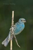 510370053 Indigo Bunting Passerina cyanea WILD; Juvenile Male on Branch; South Padre Island, Texas. Extensive coverage of a wide range of avian and other wildlife species, all identified by Latin name.