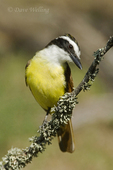 554810189 Great Kiskadee Pitangus sulphuratus WILD; Perched on lichen covered branch; Rio Grande Valley, Texas. Extensive coverage of a wide range of avian and other wildlife species, all identified by Latin name.