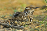 598060021 Cactus Wren Campylorhynchus brunniecepillus WILD; Taking a dust bath; Rio Grande Valley, Texas. Extensive coverage of a wide range of avian and other wildlife species, all identified by Latin name.