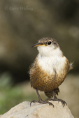 598070018 Canyon Wren Catherpes mexicanus WILD; Perched on rock; Texas Hill Country, Texas. Extensive coverage of a wide range of avian and other wildlife species, all identified by Latin name.
