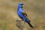 538680026 Blue Grosbeak Guiraca caerulea WILD; Adult Male on stump; Rio Grande Valley, Texas. Extensive coverage of a wide range of avian and other wildlife species, all identified by Latin name.