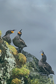 506720328 Crested Auklets Crista tella WILD; Sitting on Sheer Cliff Face; St. George Island, Pribilofs, Alaska. Extensive coverage of a wide range of avian and other wildlife species, all identified by Latin name.