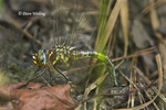 339650002 Swamp Darner Epiaschna heros WILD; Female Depositing Eggs in Mud (ovipositing); Angelina National Forest, Jasper County, Texas. Extensive coverage of a wide range of insect and other wildlife species, all identified by Latin name.