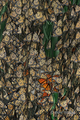 321000008 Monarch Butterflies Danus plexippus WILD; Group of Monarchs on Eucalyptus Tree Santa Barbara County, California. Extensive coverage of a wide range of insect and other wildlife species, all identified by Latin name.