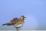 556253049 Horned Lark Eremophila alpestris WILDl Perched on fence roustingl Lake Cachuma, California. Extensive coverage of a wide range of avian and other wildlife species, all identified by Latin name.