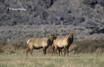 628850036 Tule Elk Cervus nannodes WILD ENDANGERED; Bulls with Antlers in Field; Eastern Sierras, California. Extensive coverage of a wide range of mammal and other wildlife species, all identified by Latin name.