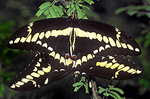 390410006 Giant Swallowtail Butterflies Heraclides cresphontes WILD; Pair Mating on Mesquite Bush; Rio Grande Valley, Texas. Extensive coverage of a wide range of insect and other wildlife species, all identified by Latin name.