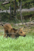 660509025 Moose Alces alces WILD; Calf Foraging in Grasses; Yellowstone National Park, Wyoming. Extensive coverage of a wide range of mammal and other wildlife species, all identified by Latin name.