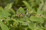 334120004 Sulphur-tipped Clubtail Gomphus militaris WILD; Male; Southeast Metropolitan Park, Travis County, Texas. Extensive coverage of a wide range of insect and other wildlife species, all identified by Latin name.