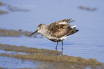 520940006 Dunlin Calidris alpina hudsonia WILD; In Breeding Plumage; South Padre Island, Texas. Extensive coverage of a wide range of avian and other wildlife species, all identified by Latin name.
