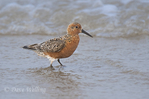 555750002 Red Knot Calidris canutus WILD; Adult in Breeding Plumage; Boca Chica, Texas. Extensive coverage of a wide range of avian and other wildlife species, all identified by Latin name.