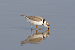 571880003 Piping Plover Charadrius melodus WILD; ENDANGERED SPECIES; Adult in Breeding Plumage Feeding along Shoreline; Boca Chica, Texas. Extensive coverage of a wide range of avian and other wildlife species, all identified by Latin name.