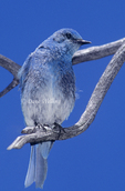 509153075 Mountain Bluebird Sialia currucoides WILD; Male perched on branch; Eastern Sierras near Lee Vining, California. Extensive coverage of a wide range of avian and other wildlife species, all identified by Latin name.