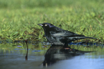 508920001 Brewer's Blackbird Euphagus cyanocephalus WILD Male bathing Los Angeles County, Calfiornia