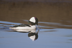 509907509 Bufflehead Bucephalus albeoala WILD; Male swimming in lagoon; Santa Barbara County, California. Extensive coverage of a wide range of avian and other wildlife species, all identified by Latin name.
