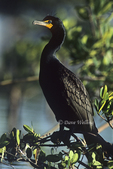 512017018 Double-crested Cormorant Phalacrocorax auritis WILD; Male in breeding plumage; South Florida. Extensive coverage of a wide range of avian and other wildlife species, all identified by Latin name.