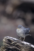 517953030 American Dipper Cinclus mexicanus WILD; Adult perched on log; Eastern Sierras, California. Extensive coverage of a wide range of avian and other wildlife species, all identified by Latin name.