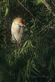 524938008 Cattle Egret Bubulcus ibis WILD; Adult in breeding plumage in rookery; East Texas. Extensive coverage of a wide range of avian and other wildlife species, all identified by Latin name.
